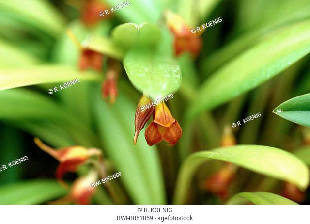 Masdevallia (Masdevallia foeda), flower