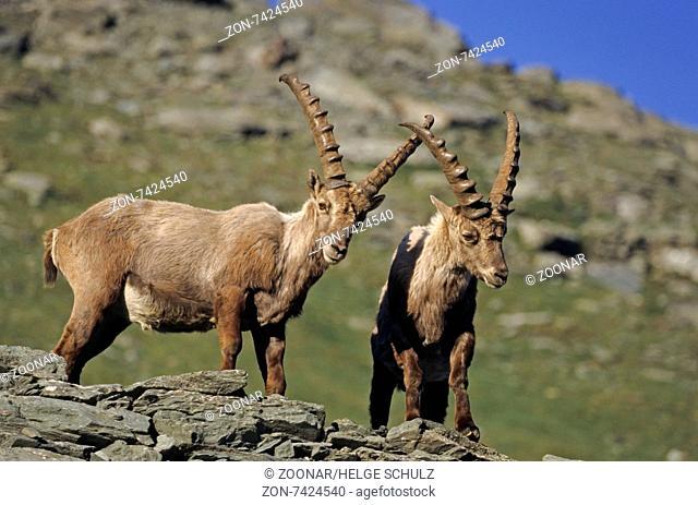 Alpine Ibex bucks fight playfully