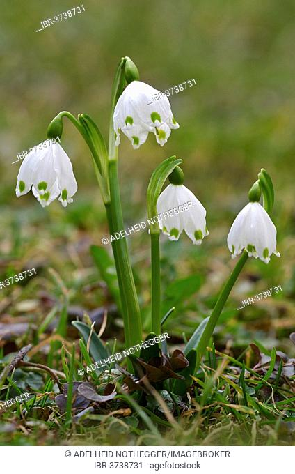 Spring Snowflake (Leucojum vernum), Tyrol, Austria