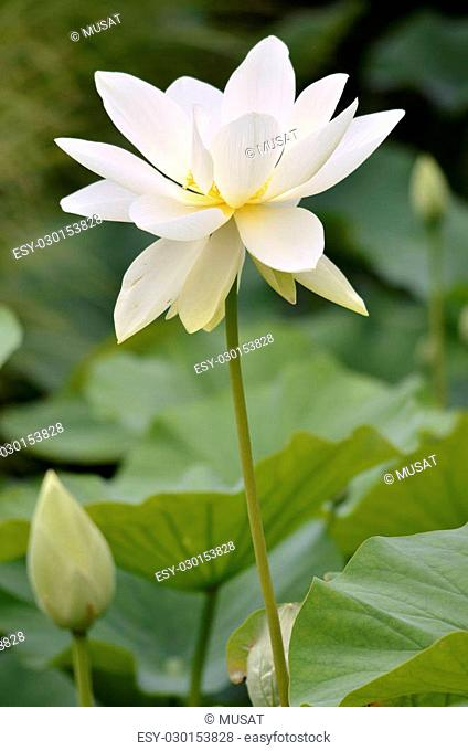 White sacred lotus flower (Nelumbo nucifera)