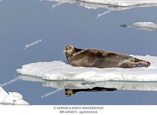 Bearded seal (Erignathus barbatus) on an ice floe, Spitsbergen, Norway