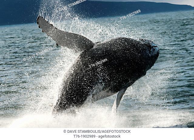 Humpback whale Megaptera novaeangliae breaching in Husavik, Iceland