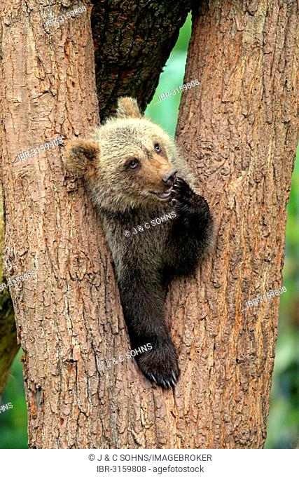 Brown Bear (Ursus arctos) cub sitting in a tree fork, captive, Cleebronn, Baden-Württemberg, Germany