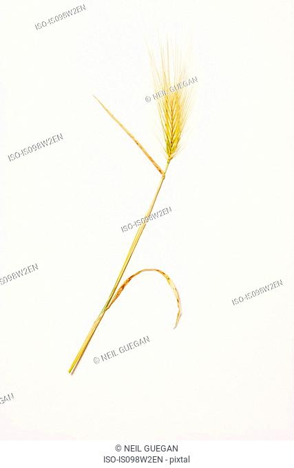 Ear of corn, studio shot