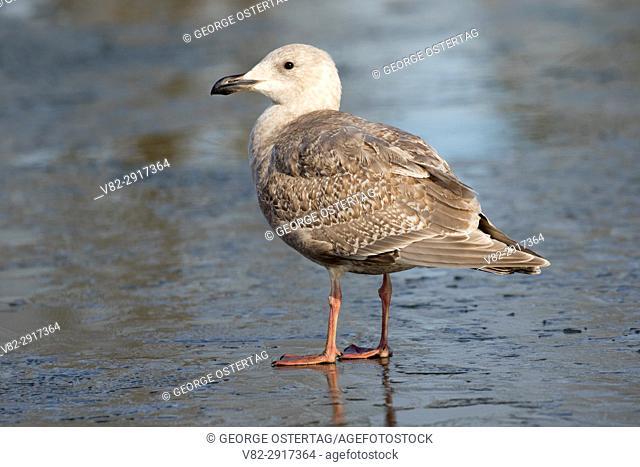 Gull on iced Walter Wirth Pond, Cascades Gateway Park, Salem, Oregon