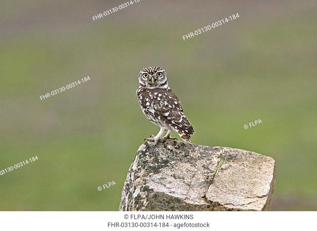 Spanish Owl Stock Photos And Images Agefotostock