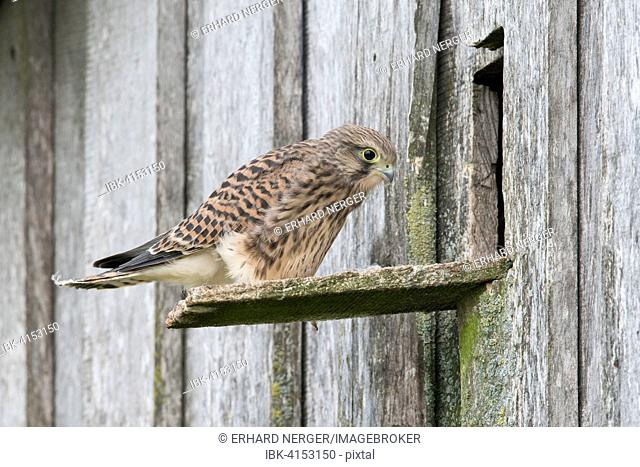 Young common kestrel (Falco tinnunculus) in front of breeding burrow, Emsland, Lower Saxony, Germany
