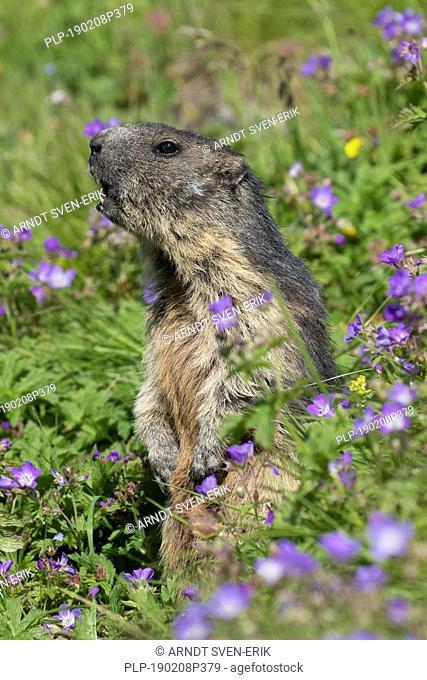 Alarmed Alpine marmot (Marmota marmota) standing upright and calling among wildflowers in Alpine pasture in summer, Hohe Tauern NP, Carinthia, Austria