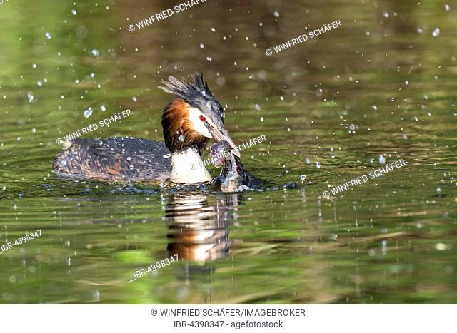 Great crested grebe (Podiceps cristatus) with European crayfish (Astacus astacus) in water, Nettetal, North Rhine-Westphalia, Germany