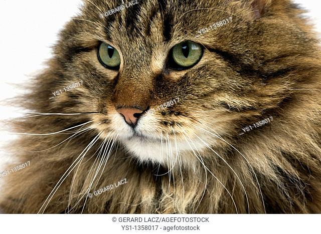 ANGORA DOMESTIC CAT, PORTRAIT OF MALE