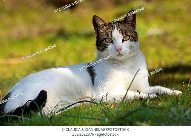 Portrait of a cat lying in the garden and looking at camera