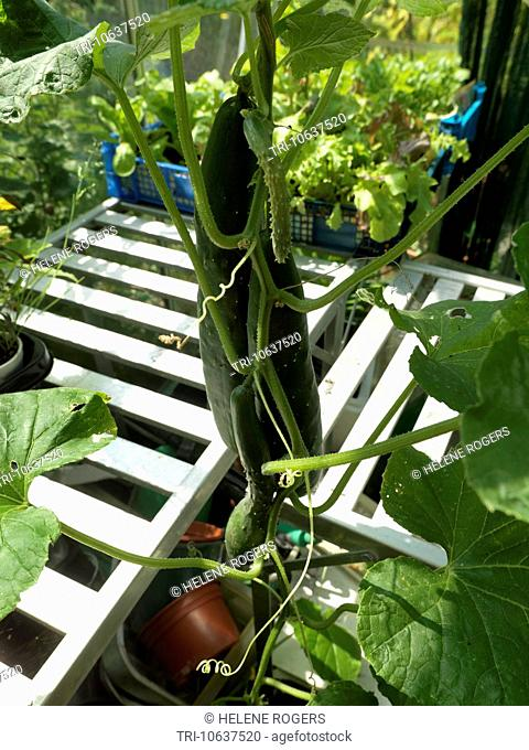 Cucumber Plant with tendrils Climbing