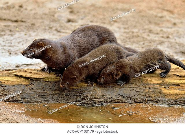 Mink (Mustela vison) Mother and pups, captive raised, Minnesota wildlife Connection, Sandstone, Minnesota, USA