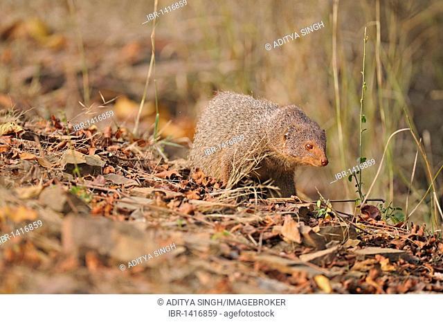 Ruddy mongoose or Black-tailed mongoose (Herpestes smithii) in Ranthambore National Park, Rajasthan, India, Asia