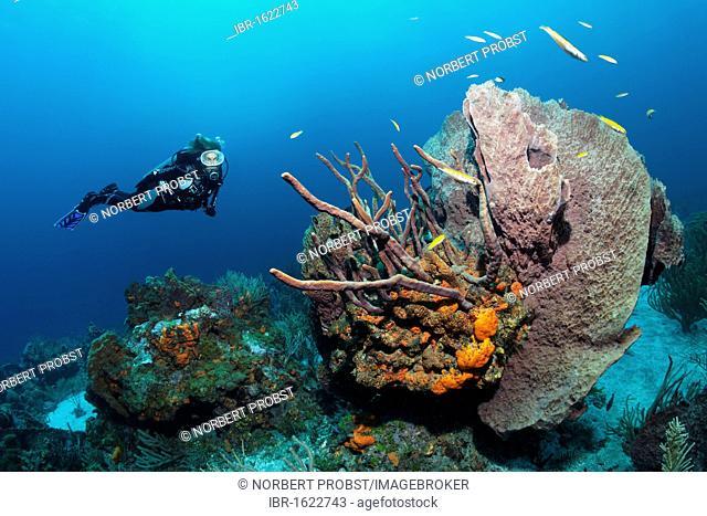 Diver, Fvarious multicoloured sponges and corals, sandy ground, Little Tobago, Speyside, Trinidad and Tobago, Lesser Antilles, Caribbean Sea