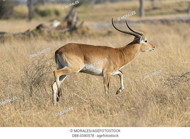 Africa, Southern Africa, Bostwana, Moremi National Park, Red Lechwe (Kobus leche)