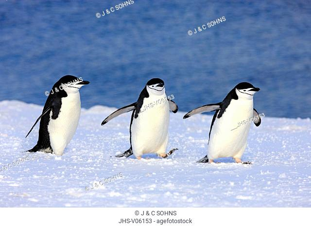 Chinstrap Penguin, (Pygoscelis antarctica), Antarctica, Brown Bluff, group of adults walking in snow