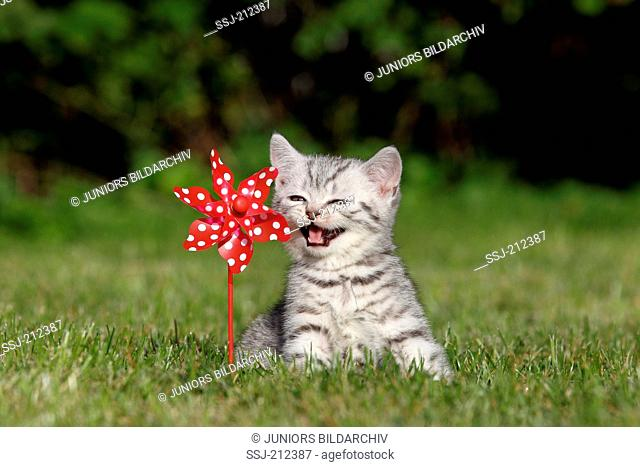 British Shorthair. Tabby kitten (8 weeks old) next toy windmill in a garden, meowing. Germany