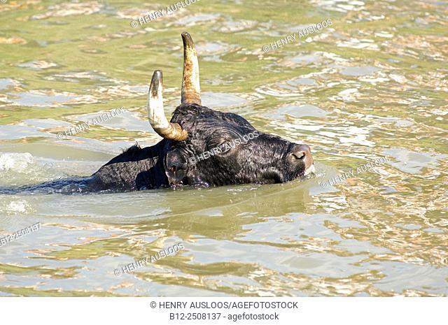 Camargue Cattle (Bos taurus), Bull, Swimming, France