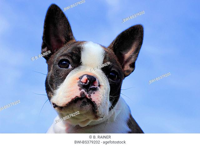 Boston Terrier (Canis lupus f. familiaris), portrait of an eleven weeks old puppy
