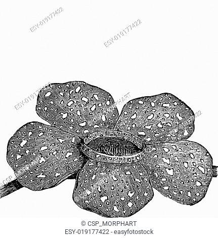 Rafflesia arnoldii or Rafflesia titan vintage engraving