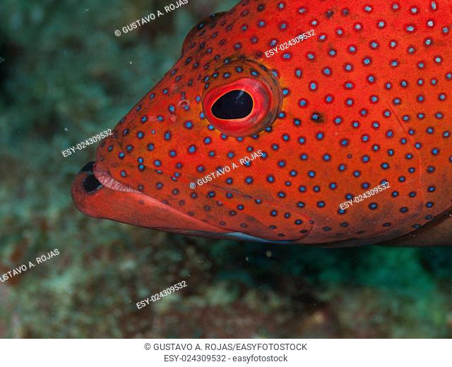 EPINEPHELUS FULVUS, Los Roques, Venezuela phase coloration bright red with some blue spots