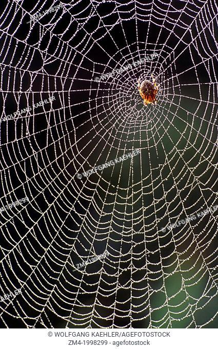 USA, WASHINGTON, GARDEN SPIDER IN SPIDER WEB, DEW DROPS