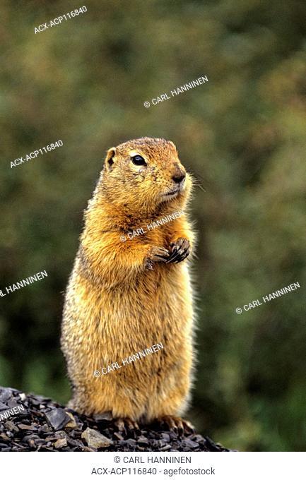 Arctic Ground Squirrel (Spermophilus parryii), Yukon, Canada