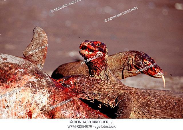 Komodo dragons eating dead dolphin, Varanus komodoensis, Rinca Komodo National Park, Indonesia