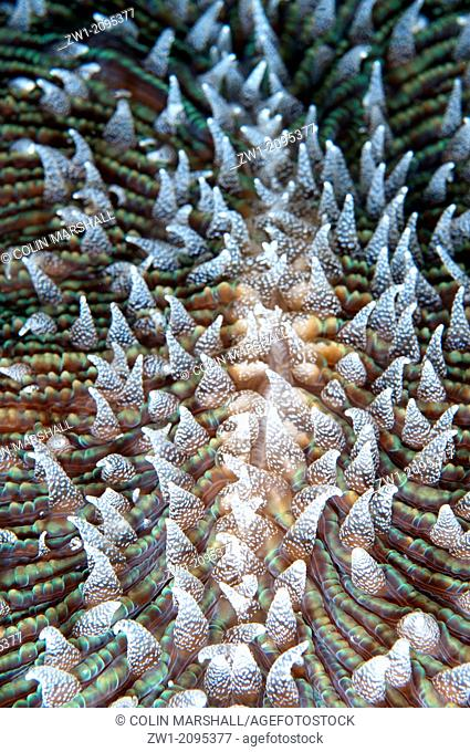 Mushroom Coral (Fungia sp) polyps, Kwatisore Point, Raja Ampat, West Papua, Indonesia