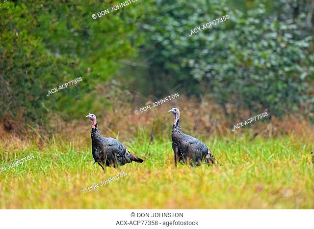 Wild Turkey (Meleagris gallopavo), Great Smoky Mountains NP, Tennessee, USA