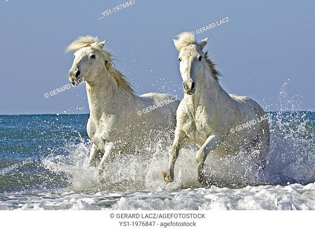 Camargue Horse Galloping on Beach, Saintes Maries de la Mer, Camargue in the South of France