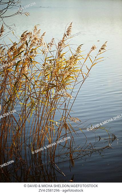 Landscape of common reed (Phragmites australis) beside a lake on a evening in autumn, Upper Palatinate, Bavaria, Germany