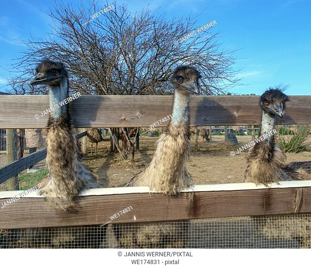 Three emus at an ostrich farm in California