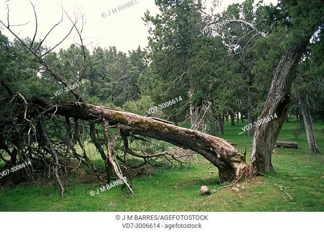Spanish juniper (Juniperus thurifera) is a small tree native to western Mediterranean mountains. This photo was taken in Sabinar de Calatanazor, Soria province