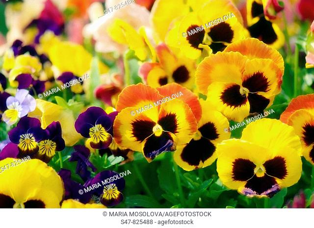 Big and Small Pansy Flowers. Viola x wittrockiana