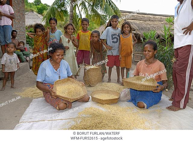Women sift Rice on Pantar Island, Alor Archipelago, Lesser Sunda Islands, Indonesia