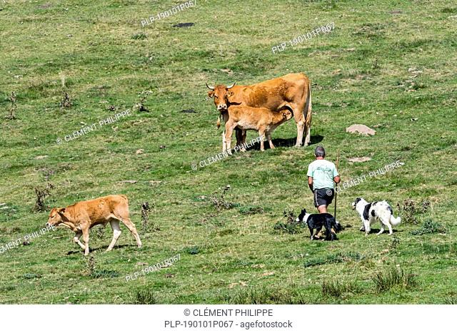 Cattleman / cowman / herdsman with two border collies herding Limousin cattle herd in Alpine pasture in the French Pyrenees, France