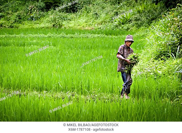 Man working in a rice field  Chiang Mai province  Thailand