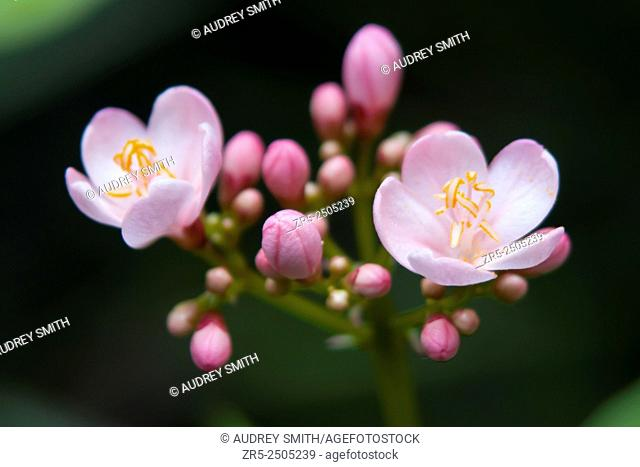 Two blooms and a contingent of unopened buds of pink jatropha (Jatropha integerrima) form a cluster against a green leaf background, Florida, USA