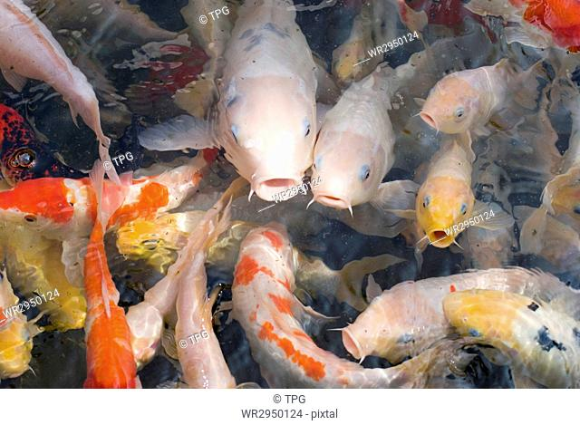 colorful fishes in transparent water, Japanese carp swimming