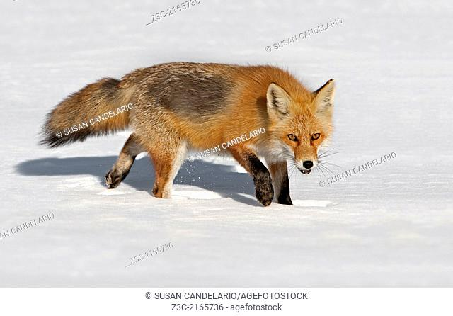 Red Fox standing still in the snow and looking right at you
