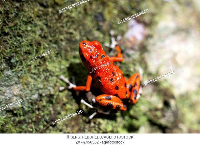 Strawberry Poison Frog Dendrobates pumilio, adult, Bastimentos National Park, Bocas del Toro, Panama. The strawberry poison frog or strawberry poison-dart frog...