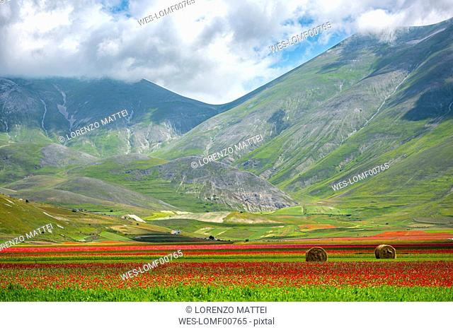 Italy, Umbria, Sibillini National Park, Blooming flowers and lentils on plateau Piano Grande