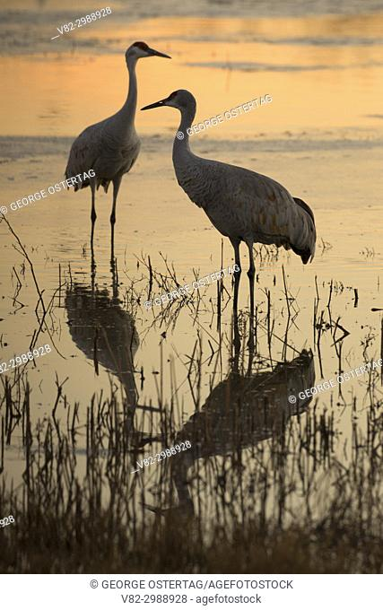 Sandhill crane silhouette on pond, Bernardo Wildlife Management Area, New Mexico