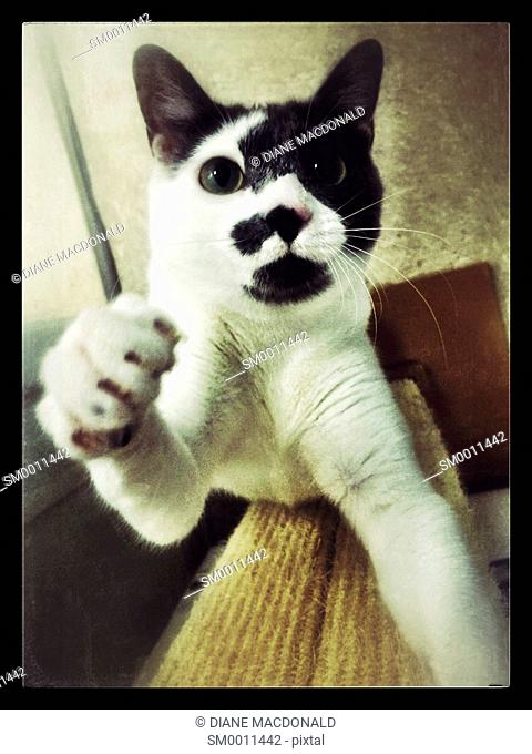 Black and white cat reaching for the camera