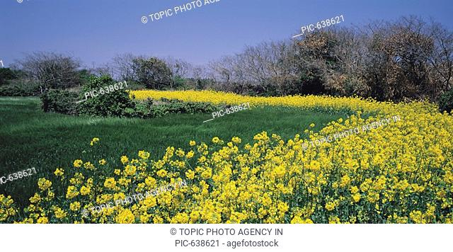 Rape Flowers Field,Seogwipo,Jeju Island,Korea
