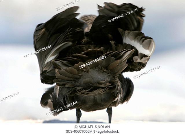 Adult Skua Catharacta spp ruffling its feathers near the Antarctic Peninsula