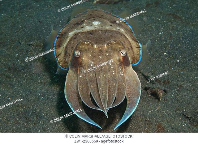 Broadclub Cuttlefish (Sepia latimanus) on black sand, Hairball dive site, Lembeh Straits, Sulawesi, Indonesia