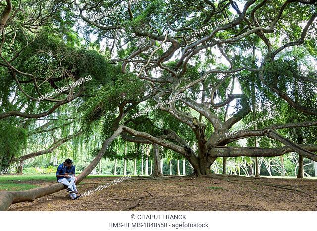 Sri Lanka, Central province, Kandy district, Kandy, Peradeniya royal botanical gardens, Java fig tree (ficus benjamina)